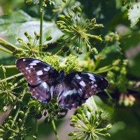 Бабочка с редкой окраской :: Екатерина Торганская