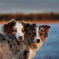 Уютные собачки :: Диана