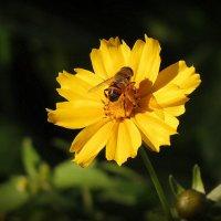 Пчела и цветок :: Михаил Цегалко