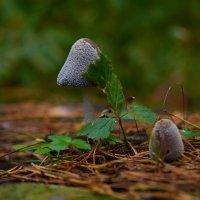 Гриб и грибеныш. :: Сергей Адигамов