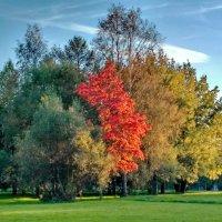 Осень клёны расцветила :: Олег Попков