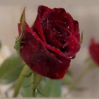 Красная роза раскрыла бутон - и разлились ароматов флюиды. :: Людмила Богданова (Скачко)