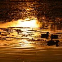 Купание в золоте заката... :: Ольга Русанова (olg-rusanowa2010)