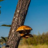Грибное дерево :: Олег Мартоник