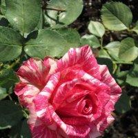 Двухцветная роза :: Дмитрий Никитин