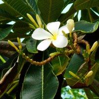 цветки манго :: Таня