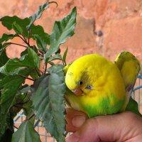 Свободу попугаю! :: Татьяна Смоляниченко
