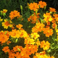 Разновидность бархатцев- маленькие солнышки :: татьяна