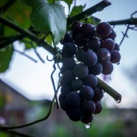 Дальневосточный виноград! :: Ирина Антоновна