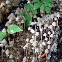 грибы поганки :: elena manas