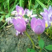 цветы безвременника :: Serg