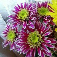 Хризантема  радует глаз. :: Мила Бовкун