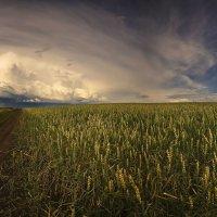Хлебом спелым поле разродится :: Сергей Жуков