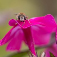 Цветочная муха, похожая на трутня, отдыхает :: Елена Ахромеева