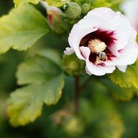 Цветок и пчела :: Дмитрий Максимовский