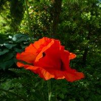 Аленький цветочек...(почти как в сказке С.Аксакова) :: Юрий Поляков