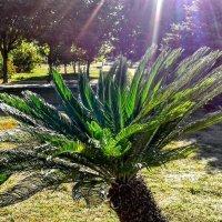 Пальмочка в лучах солнца :: Наталия Каминская