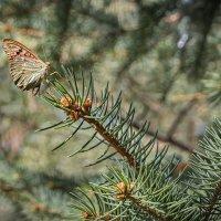 Бабочка на ёлке. :: Клаус