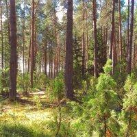 Тёплый день в хвойном лесу :: Svetlana27