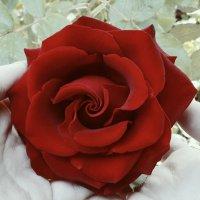 Роза :: Адриа