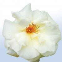 Белая роза :: юрий Амосов