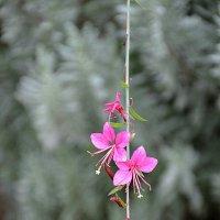 Розовый цветок. :: Оля Богданович