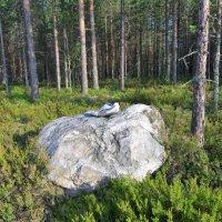 Карельский лес :: Валерий Талашов
