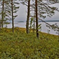 Приозерный лес :: Валерий Талашов
