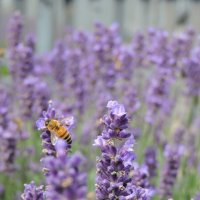 Пчела :: Аркадий