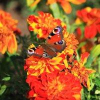 Бабочка и цветы :: Александр Щеклеин