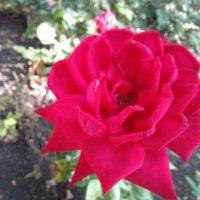 роза :: Марина Бельская