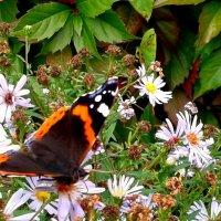 Последняя бабочка :: Мила