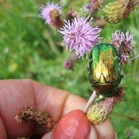 Поцелуй жука :: Лидия (naum.lidiya)