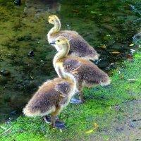 Последний день весны (серия) Птенцы казарки канадской :: Nina Yudicheva