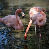 Алматинский зоопарк. Розовые фламинго (1/3) :: Асылбек Айманов