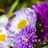 Сентябрьская пчёлка :: Сергей В. Комаров