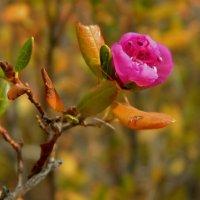 чудо забайкальской осени-цветущий багульник :: Анна