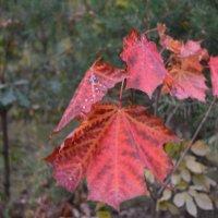 Кленовые листья. :: Надежда Акушко