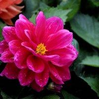 Цветы запоздалые :: Вера Моисеева