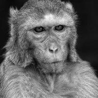 """Мьянма. Портрет """"мудрой"""" обезьяны с горы Попа :: Андрей Левин"""
