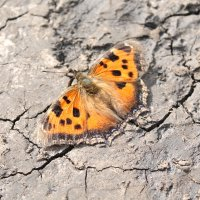 бабочка :: Ксения Куценко