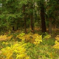 В темный лес дремучий Осень заглянула,разбросала всюду краски золотые.. :: Алла Кочергина