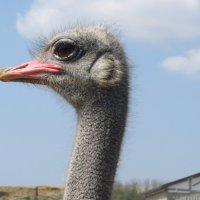 Гордый страус :: Вера Щукина