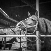 про лошадку... :: Евгений Осипов