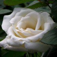 Роза :: Андрей Кондратович