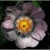 Шиповник  розовый цветёт... :: Нина Корешкова