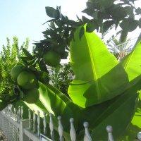 солнце,цитрусы,бананы :: tgtyjdrf