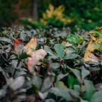 Листья куста :: Света Кондрашова