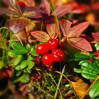 Волчья ягодка :: Elena Kovach