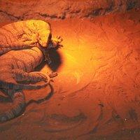 Животные Туркменистана - вараны :: Elena Соломенцева